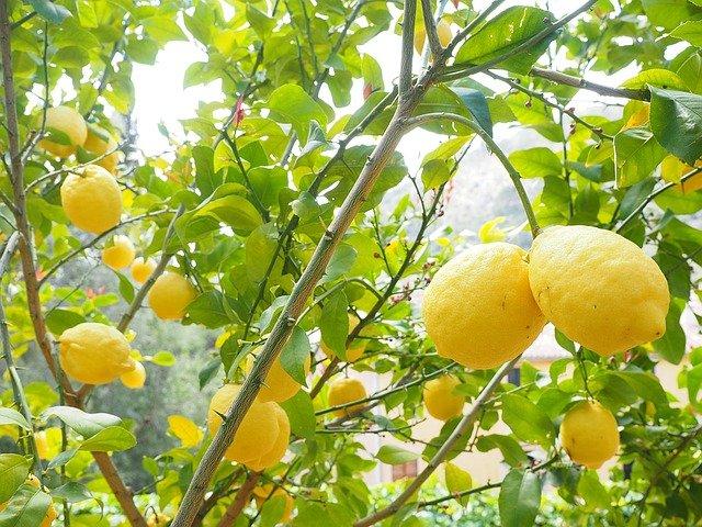 Saját citrom a citromfa vásárlás esetén